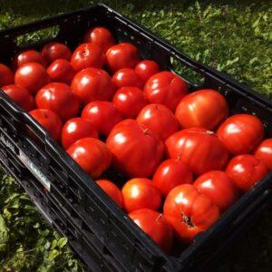 plateau de 10kg de tomates